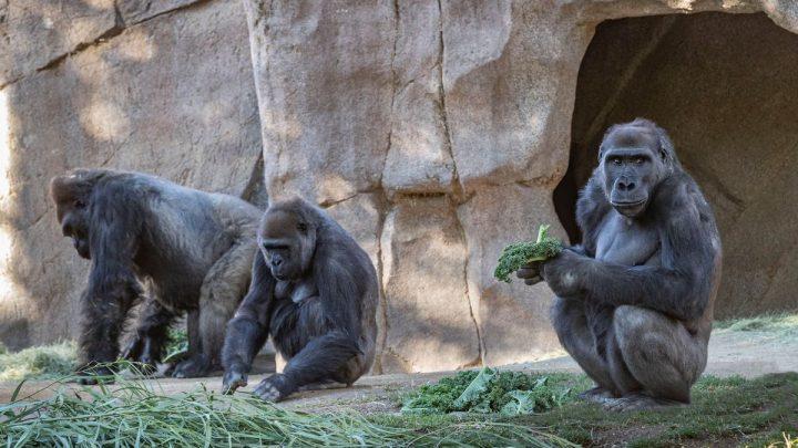 Gorilas de un zoológico de Atlanta dan positivo por COVID-19